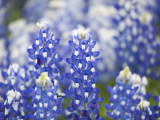 Close Up of Group of Texas Bluebonnets, Texas, USA Photographic Print by Julie Eggers