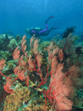 Scuba Diver and Sea Fans, Raja Ampat, Papua Photographic Print by Stuart Westmorland