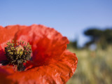 Summer Poppies in Tuscany, Italy Stampa fotografica di Terry Eggers