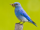 Mountain Bluebird With Caterpillars Near Kamloops, British Columbia, Canada Lámina fotográfica por Larry Ditto
