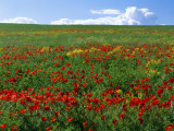 Naturalized Corn Poppies, Cache Valley, Utah, USA Photographic Print by Scott T. Smith