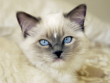 Ragdoll Kitten Photographic Print by Savanah Stewart