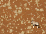 Lone Oryx Standing in Namib Desert, Sossusvlei, Namibia, Africa Photographic Print by Wendy Kaveney