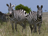 Common Zebra, Masai Mara National Reserve, Kenya Photographic Print by Sergio Pitamitz