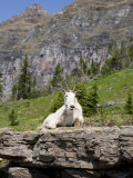 Mountain Goat on Rock, Logan Pass, Glacier National Park, Montana, USA Photographic Print by Jamie & Judy Wild