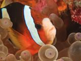 Anemonefish, Tukang Besi/Wakatobi Archipelago Marine Preserve, South Sulawesi, Indonesia Fotografisk tryk af Stuart Westmorland