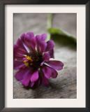 Purple Zinnia Prints