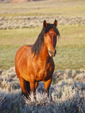 Feral Horse in the High Sagebrush Country East of Cody, Wyoming, USA Photographic Print by Larry Ditto