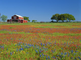 Paintbrush Flowers and Red Barn in Field, Texas Hill Country, Texas, USA Photographie par Adam Jones