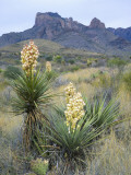 Spanish Dagger in Blossom Below Crown Mountain, Chihuahuan Desert, Big Bend National Park, Texas Photographic Print by Scott T. Smith