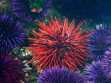 Tide Pool With Sea Urchins, Olympic Peninsula, Washington, USA Photographic Print by Charles Sleicher