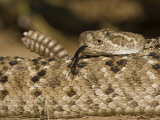 Diamondback Rattlesnake Coiled, Weaver Ranch, Texas, USA Photographic Print by Larry Ditto