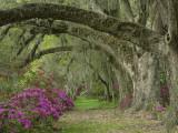 Oak Trees Above Azaleas in Bloom, Magnolia Plantation, Near Charleston, South Carolina, USA Photographie par Adam Jones