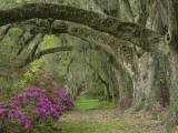 Oak Trees Above Azaleas in Bloom, Magnolia Plantation, Near Charleston, South Carolina, USA Photographic Print by Adam Jones