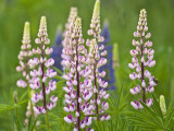 Field of Blooming Lupine Flowers and Bee, Acadia National Park, Maine, USA Fotodruck von Nancy Rotenberg