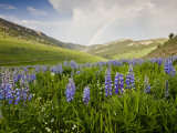 Lupines in Bloom and Rainbow After Rain, Bighorn Mountains, Wyoming, USA Fotografie-Druck von Larry Ditto