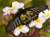 The Golden Birdwing, Khon Kaen, Thailand Photographic Print by Gavriel Jecan