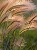 Foxtail Barley Backilt Near East Glacier, Montana, USA Stampa fotografica di Chuck Haney