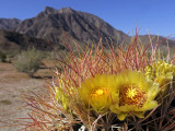 Blooming Barrel Cactus at Anza-Borrego Desert State Park, California, USA Photographic Print by Kymri Wilt