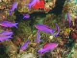 Stuart Westmorland - Fairy Basslets in Milne Bay, Papua New Guinea - Fotografik Baskı