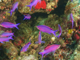 Fairy Basslets in Milne Bay, Papua New Guinea Photographic Print by Stuart Westmorland