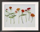 Zinnia Row on White Posters