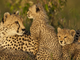 Cheetahs, Upper Mara, Masai Mara Game Reserve, Kenya Photographic Print by Joe & Mary Ann McDonald