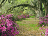 Oak Trees Above Azaleas in Bloom, Magnolia Plantation, Near Charleston, South Carolina, USA Fotografisk tryk af Adam Jones