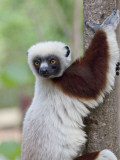 Coquerel's Sifaka, Ampijoroa, Ankarafantsika Reserve, Madagascar Photographic Print by Charles Sleicher