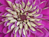 Chrysanthemum Flower Photographic Print by Adam Jones