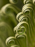 Close Up of Sago Palm in the Spring, Savannah, Georgia, USA Photographic Print by Joanne Wells