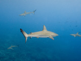 Galapagos Shark Off of Wolf Island, Galapagos Islands, Ecuador Photographic Print by Pete Oxford