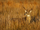 White-Tailed Deer in Grassland, Texas, USA Photographic Print by Larry Ditto