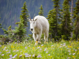 Mountain Goat in Wildflower Meadow, Logan Pass, Glacier National Park, Montana, USA Photographic Print by Jamie & Judy Wild