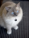 Ragdoll Cat Photographic Print by Savanah Stewart