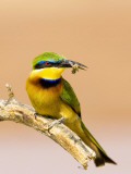 Little Bee-Eater Bird on Limb With Bee in Beak, Kenya Photographie par Joanne Williams