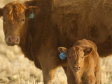 Crossbred Cow With Calf Near Choteau, Montana, USA Photographic Print by Chuck Haney