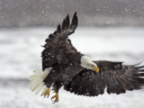 Bald Eagle Flies in Snowstorm, Chilkat Bald Eagle Preserve, Alaska, USA Photographic Print by Cathy & Gordon Illg