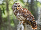 Barred Owl in Old Growth East Texas Forest With Spanish Moss, Caddo Lake, Texas, USA Photographic Print by Larry Ditto