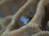 Blenny Fish Poking It's Head Out of Coral, Raja Ampat, Indonesia Photographic Print