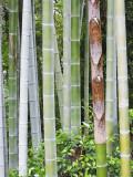 Bamboo at Shukkei-En Garden, Hiroshima, Japan Fotodruck von Rob Tilley