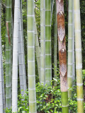 Bamboo at Shukkei-En Garden, Hiroshima, Japan Photographic Print by Rob Tilley