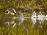 Common Goldeneye Takes From Calm Water on Lazy Creek Near Whitefish, Montana, USA Photographic Print by Chuck Haney