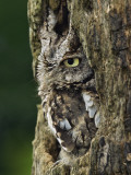 Eastern Screech Owl, Michigan, USA Photographic Print by Adam Jones