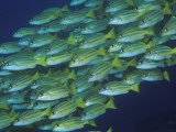 Close-Up of Schooling Lined Snappers, Komodo National Park, Indonesia Photographic Print by  Jones-Shimlock