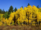 Aspens in Fall, Rocky Mountain National Park, Colorado, USA Photographic Print by Bernard Friel