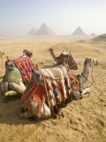 Resting Camels Gaze Across the Desert Sands of Giza, Cairo, Egypt Fotografisk tryk af Dave Bartruff