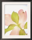 Pink Dogwood Flowers I Posters