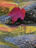 Red Maple Leaf on Rock in Swift River, White Mountain National Forest, New Hampshire, USA Photographic Print by Adam Jones