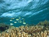 Damselfish, Tukang Besi/Wakatobi Archipelago Marine Preserve, South Sulawesi, Indonesia Photographic Print by Stuart Westmorland